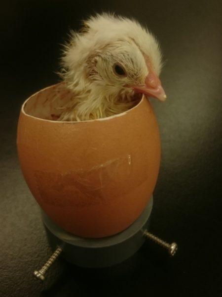 【閲覧注意】ニワトリの卵の上部をカットして、中身まる見えで成長過程を観察してみた