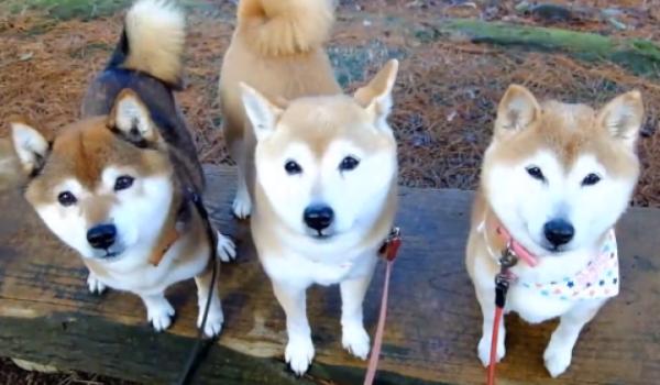 かわいさが通常の3倍! 3匹の柴犬親子、散歩もおやつもいつも一緒。