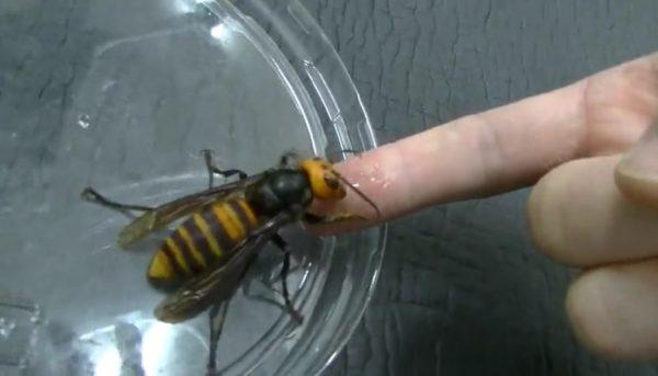 【※虫注意】オオスズメバチと仲良くなろう? スズメバチとスキンシップを試みる命知らずの男