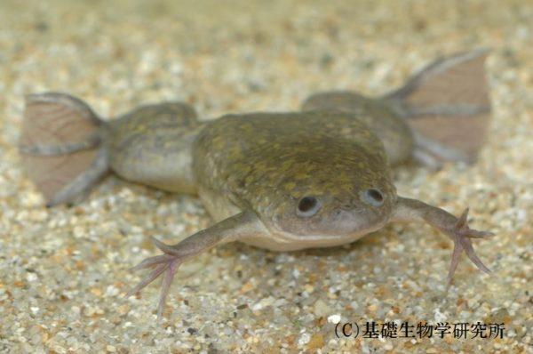 GWは細胞分裂をみんなで数えよう! アフリカツメガエルの受精からオタマジャクシ誕生の瞬間まで、48時間ぶっ通し放送