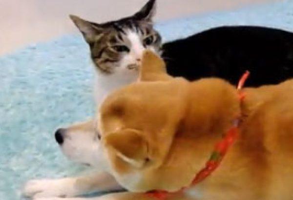 柴犬さんと猫さんが暖かい場所の取り合い。2匹が選んだベストポジションとは?