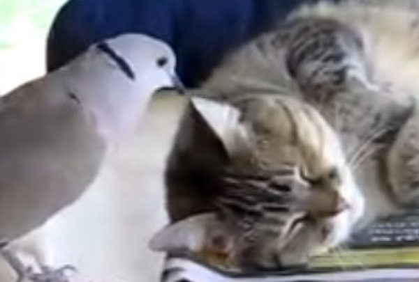 勝つのはどっち? 眠たい猫さんVS遊んでほしい鳩さん。