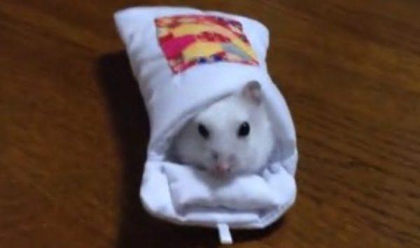 スマホ用お布団に、ハムスターさんをお米で誘い込んでみた結果……。ピッタリ過ぎます。