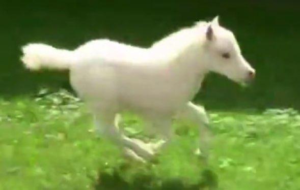 まるで天使?天馬?真っ白な子馬がモフモフの尻尾を揺らして走ります。走るのが楽しくてしょうがない子馬が超カワイイ