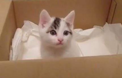 雨に濡れて泣いている子猫を拾いました。毛が乾いたら真っ白ふわふわで天使の様です。