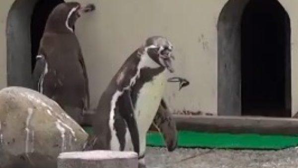 蝶に踊らされるペンギン。気を取られすぎてプールに落っこちる。