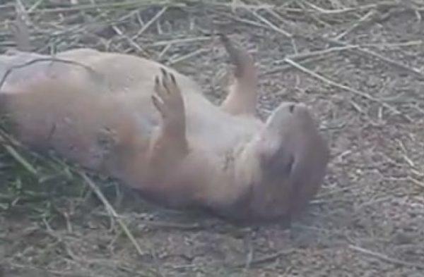 仰向けで爆睡のプレーリードッグさん