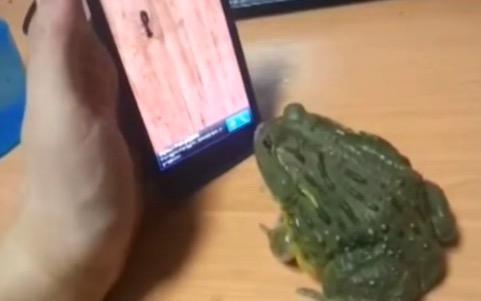 スマホゲーム画面の虫を、本物と思って食べようとしたカエルの結末とは……?