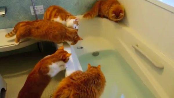 魚を追って風呂にダイブ!? ずぶ濡れになったマンチカン