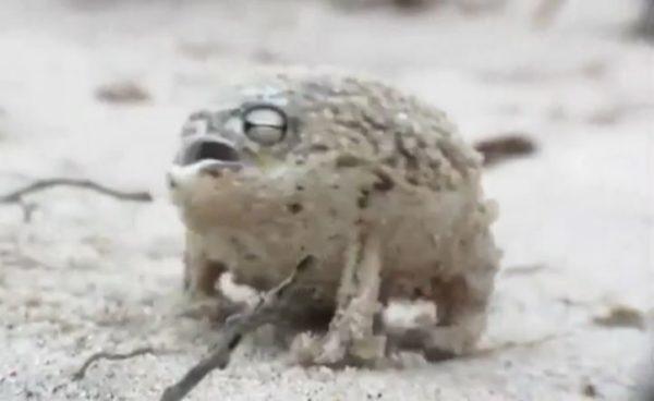 こう見えてもカエルです。まんまる姿にキューキュー鳴いて威嚇する『ナマカフクラガエル』が可愛い!