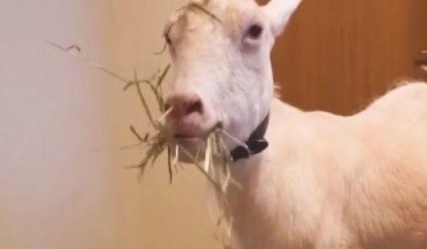 お食事中、飼い主のくしゃみに驚き真顔になるヤギさん