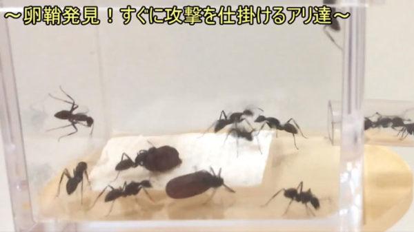 【閲覧注意】集団でも歯が立たない!? アリのえさ場にゴキブリの卵を置いてみた