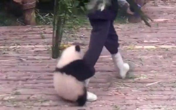 飼育員さんの足から離れない甘えん坊な子パンダ
