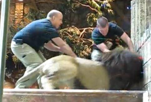 雄ライオンに襲われ若手飼育員さん大ピンチ。雌ライオンに助けられる