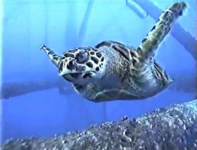 海の中で作業中、体当たりしてきた人懐こいウミガメ
