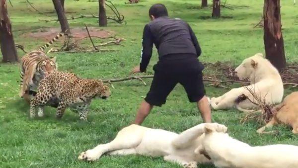 ホワイトタイガー達とじゃれ合う中、トラとヒョウが背後から迫る!