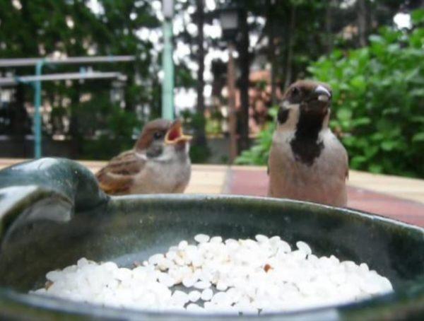 巣立ちを迎えるスズメのヒナ。お米を食べることを教えられるも、まだ飲み込めなくていつまでもモグモグモグ……