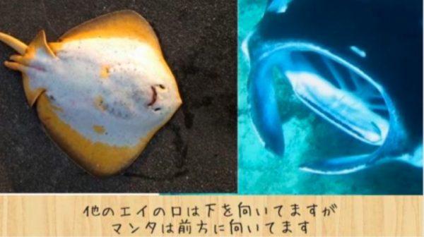 マンタとエイってどう違うの? サメって名前だけれど、実はサメじゃない魚の見分け方は?