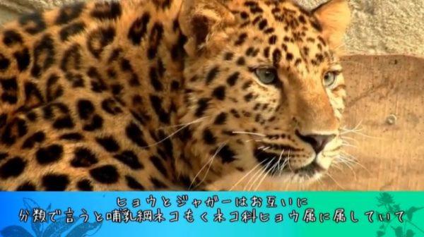 ヒョウ柄かと思ってたらジャガー柄の可能性も? ヒョウとジャガーの違いを詳しく説明します