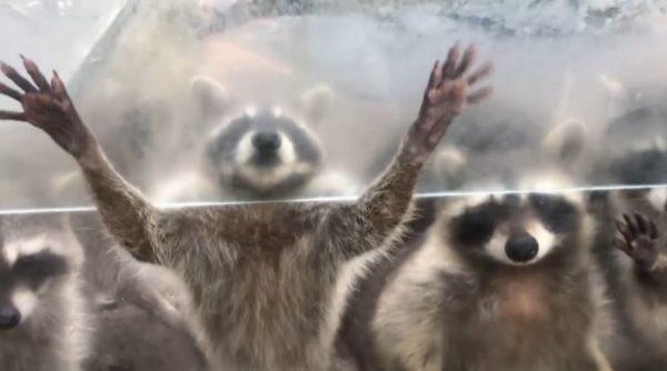 長崎バイオパークでアライグマの餌やり体験。窓に張り付いた手がホラーチック、だけど可愛い