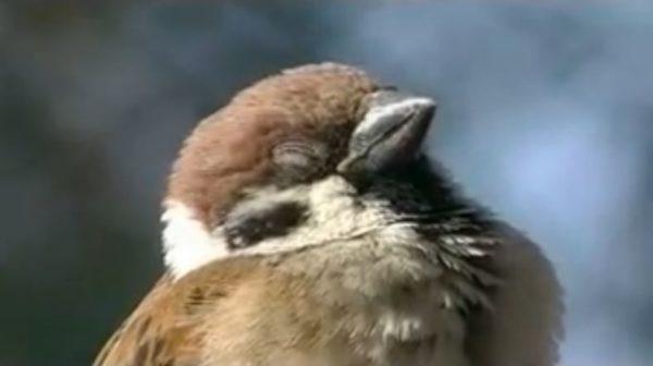 もこもこで可愛いスズメの居眠りを激写。寝顔が穏やかすぎて写真立てに飾りたくなる