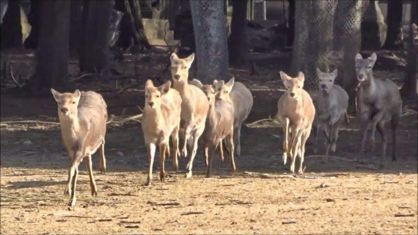 ホルンの音でワラワラ集まり「もぐもぐタイム」に突入する奈良のシカさんが可愛い