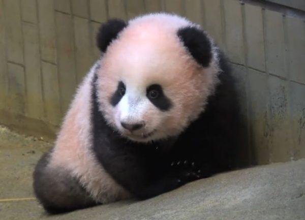 赤ちゃんパンダの毛が赤いのはなぜ? 理由は愛情たっぷりに育ててるから。赤ちゃんパンダ「シャンシャン」が可愛い