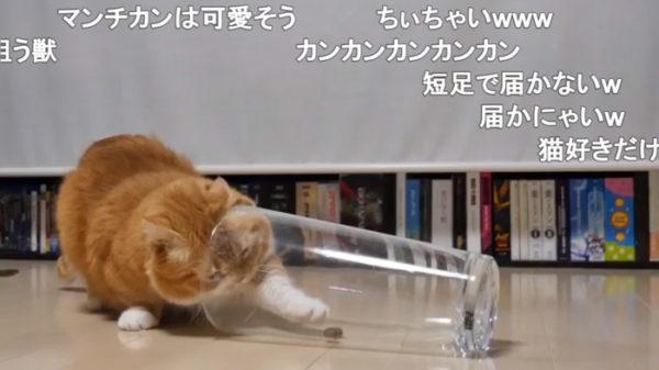 「手が届かないニャー!」コップの中のおやつが欲しい猫さん、短い脚で餌を取ろうと奮闘する様子に「どんくさかわいいw」