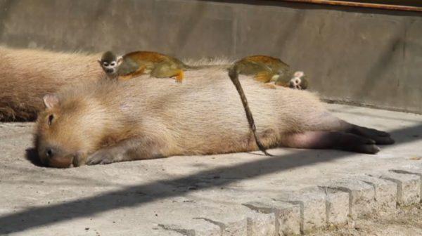 カピバラさんの上で眠りたいリスザルちゃんたち ふかふかのお腹でスヤスヤ眠る姿に「トトロのメイだな」