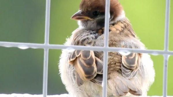 コロコロ膨らむ子スズメさんたち 小雨降る中、ふわふわの羽毛で冷えた身体を守る様子に「ボールやん」「かわいいのー」