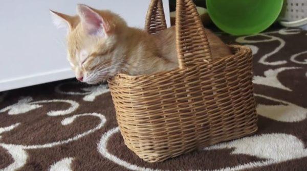 「大きくなってもココがいいニャー!」赤ちゃん時代から使ってきたお気に入りのカゴで眠りたい子猫ちゃん