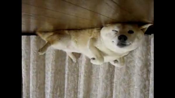 床にひっくり返ってダラダラ中の柴犬、逆さにして見たら可愛さ100倍だった
