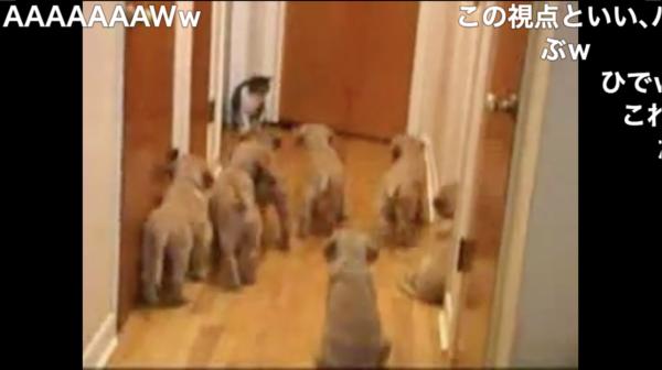 猫vs子犬7匹。仁義なき戦いの結末を見届けよ! 「多勢に無勢すぎ」「これはビビる」などの声