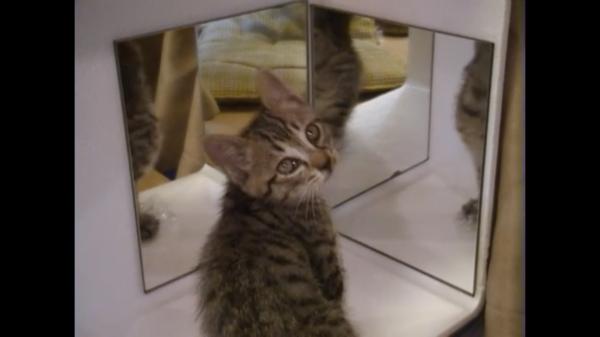 もう3匹のボク…? 子猫さん、鏡に映る複数の自分にアタック! 鏡の謎を解き明かそうと試みるも、「解せぬ」な展開に