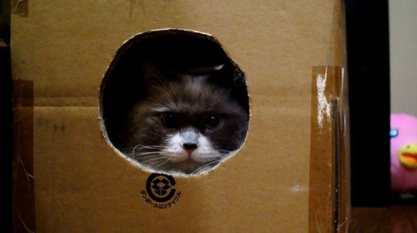 「にらめっこするニャー」ダンボールにもっふもふの体をねじ込む猫ちゃん こちらを見つめる姿はまるでたぬき!