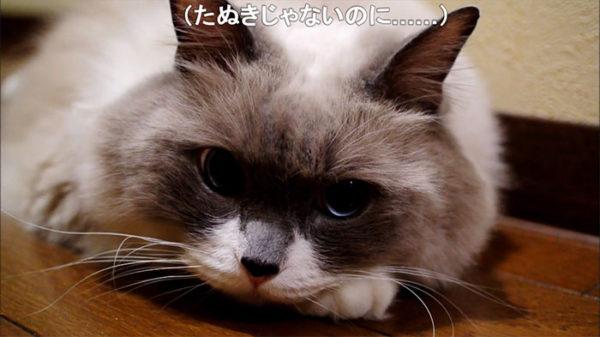 タヌキじゃないにゃ…!宅配の人にタヌキと呼ばれてしまう猫ちゃんが圧倒的にかわいい