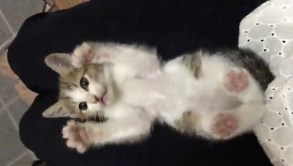 こちょこちょ〜…ぱっ! 突然手を離されて、バンザイ&ビックリ顔でフリーズしてしまう子猫が天使すぎる。両手足を広げてピンクの肉球も披露