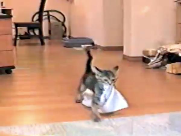 """お前は犬か! """"タオルを投げると取ってくる子猫""""が可愛すぎる。タオルを踏まないようにヨタヨタ歩く姿に「ぐうかわ」「俺でもできるぞ」の声"""