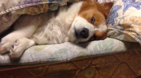 白目になったり半目になったり、布団をかぶって眠気と戦うコーギーが必死すぎて「分かったから寝ろw」「もう楽になれw」の声