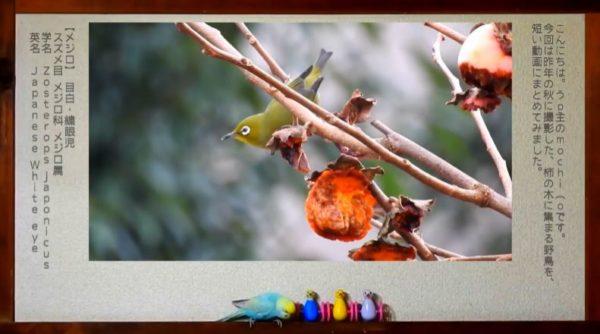 野鳥が集まる人気スポット。 メジロ、ムクドリ、スズメ…鳥たちが柿の実をついばむ姿が可愛いくて和む!