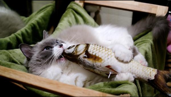 """""""焼き魚""""にガッチリ抱きついたりブン回したりする猫さん…? ラグドール独特の毛並みに「たぬきだ」「たぬキック」の声も"""