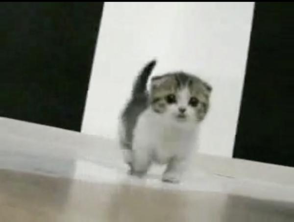 マンチカンの赤ちゃんがヨチヨチ歩いていると…世界が滅亡!? そして幸福!? かわいすぎる猫に狂乱するネット民の反応を見よ!