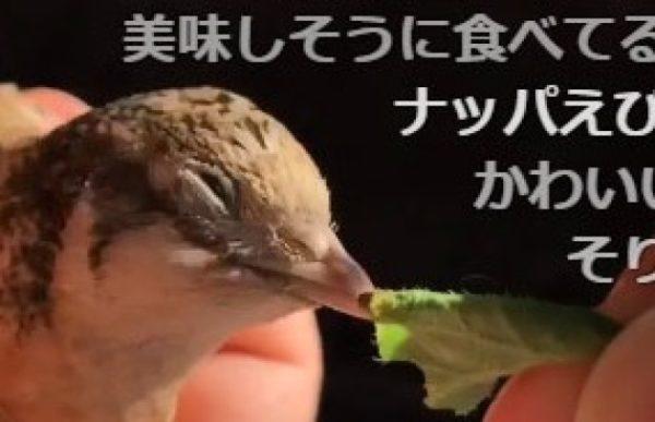 ヒメウズラはラディッシュが大好物。一度食べ始めると、目にも留まらぬ速さで止まりません。