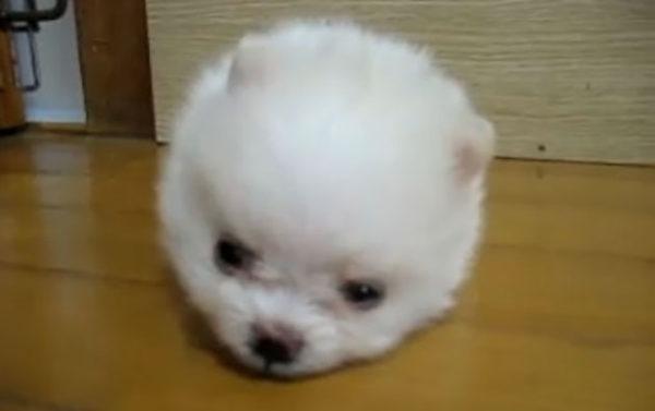 真っ白な綿アメみたいにふわふわなポメラニアンの子犬。まん丸過ぎてたまりません〜。