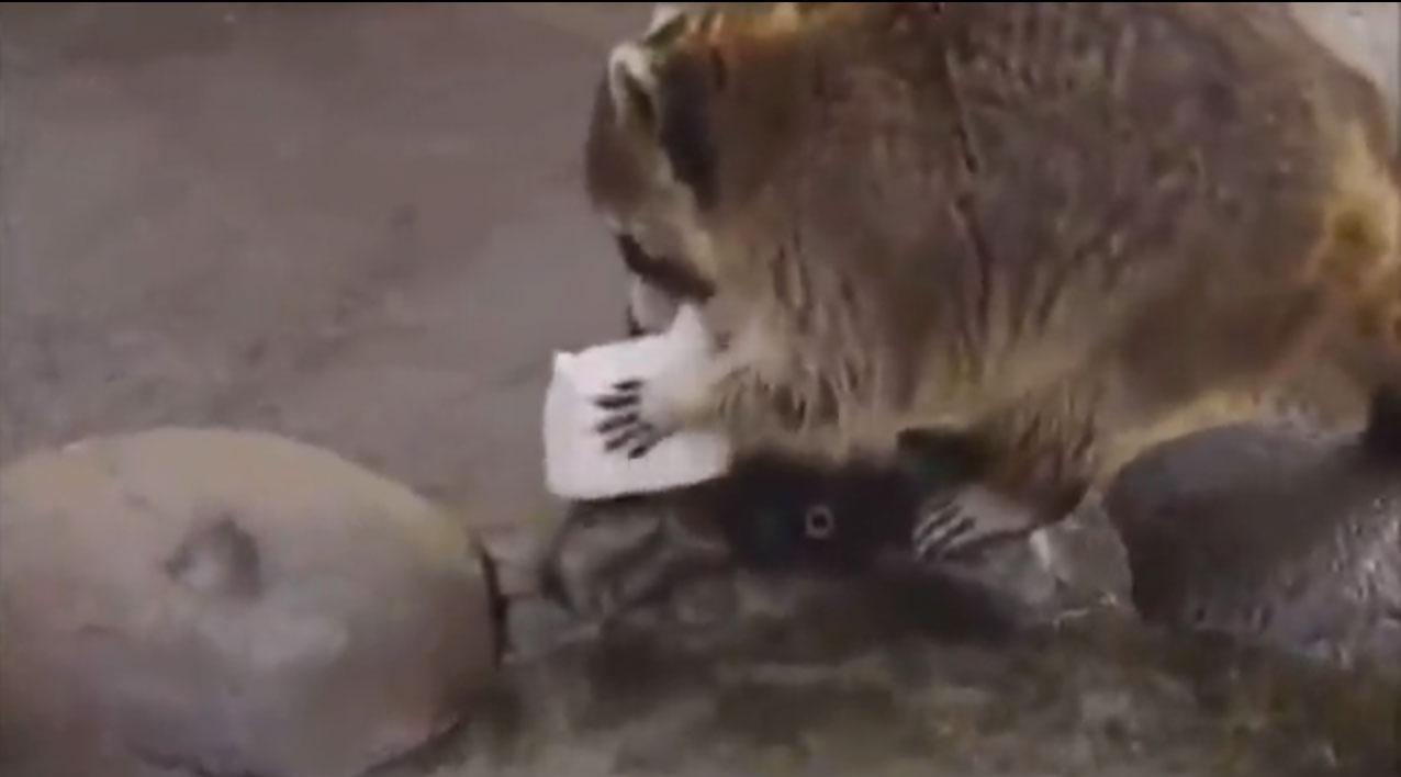 アライグマ 洗う 理由