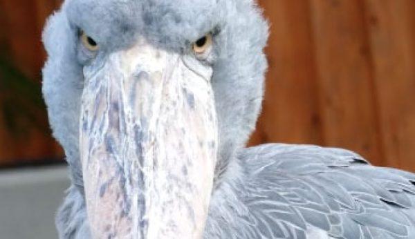 目ヂカラが半端ない怪鳥ハシビロコウさん。実はわりと動きます