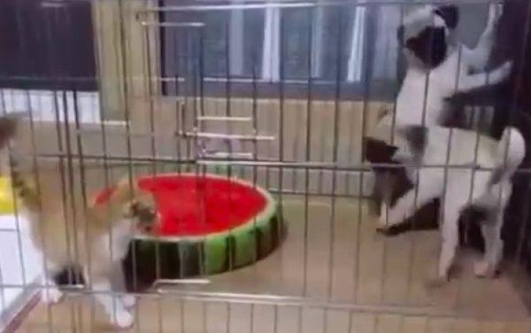 「お前が行けよ」「いやお前が行け!」子猫から逃げまどうパグ犬。怖がりすぎてもうパニック!