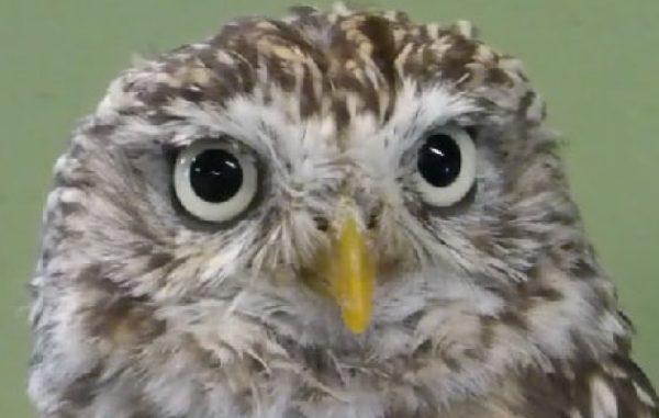 目を合わせずにはいられません。こっちを見つめるフクロウさんのまっすぐすぎる視線。ウィンクもするよ!