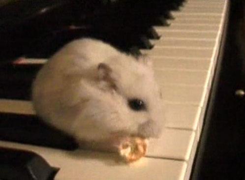 飼い主さんのいじわる! ピアノの上でポップコーンを食べ続けるハムスターの末路とは……。