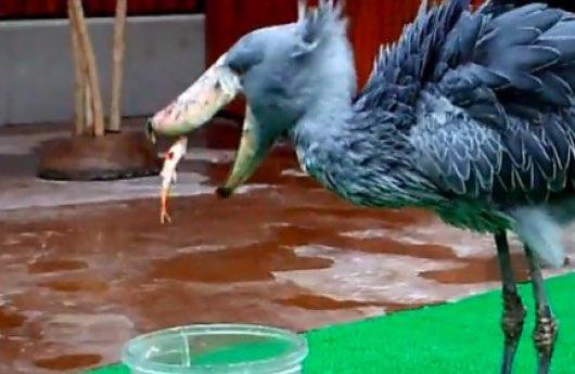 掛川花鳥園のハシビロコウのフタバちゃん。バケツの中の魚の狩りも失敗しちゃうドジっ子です。